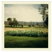 View across lawns, fields, with large daffodil bed.