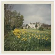 View across large daffodil bed to house in the distance. Trees run along the field edge at the left.