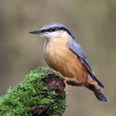image of nuthatch